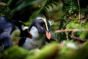 Fiordland crested penguin (Eudyptes pachyrhynchus) returning to its nest through thick forest, Harrison Cove colony in the Milford Sound, New Zealand. October. Editorial use only.  -  Richard Robinson