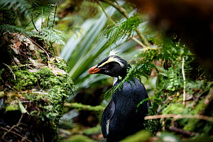 Fiordland crested penguin (Eudyptes pachyrhynchus) returning to its nest through thick forest, Harrison Cove colony in the Milford Sound, New Zealand. October. - Richard Robinson