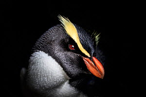 Fiordland crested penguin (Eudyptes pachyrhynchus) sits on a egg, Harrison Cove colony in the Milford Sound, New Zealand. October. Editorial use only.  -  Richard Robinson
