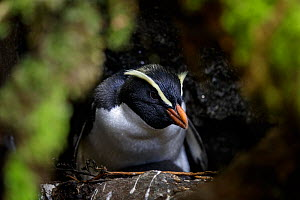 Fiordland crested penguin (Eudyptes pachyrhynchus) sit on nest, Harrison Cove colony in the Milford Sound, New Zealand. October. Editorial use only.  -  Richard Robinson