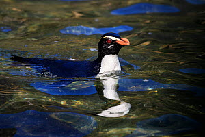 Fiordland crested penguin (Eudyptes pachyrhynchus) in Milford Sound, New Zealand. October. - Richard Robinson