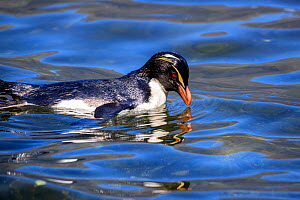 Fiordland crested penguin (Eudyptes pachyrhynchus) in Milford Sound, New Zealand. October. Editorial use only.  -  Richard Robinson
