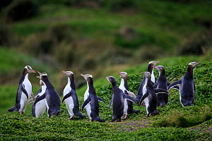 Yellow eyed penguins (Megadyptes antipodes), Sandy Bay on Enderby Island, subantarctic Auckland Islands, New Zealand. January. - Richard Robinson