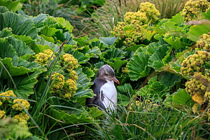 Yellow eyed penguin (Megadyptes antipodes) amongst endemic megaherbs on Enderby Island, subantarctic Auckland Islands, New Zealand. January. - Richard Robinson