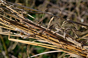 French stick insect (Clonopsis gallica)  camouflaged in grass.  -  Daniel  Heuclin