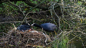 Coot (Fulica atra) swimming to nest and feeding mate, Hertfordshire, England, UK, June. - Dave Bevan