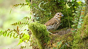 Slow motion clip of a Song thrush (Turdus philomelos) feeding chicks, removes faecal sacs before flying out of frame, Carmarthenshire, Wales, UK, June.  -  Dave Bevan