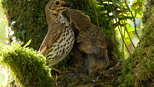 Slow motion clip of a Song thrush (Turdus philomelos) feeding chicks, takes faecal sac and flies out of frame, Carmarthenshire, Wales, UK, June.  -  Dave Bevan