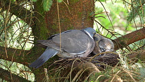 Wood pigeon (Columba palumbus) feeding chick in nest, Carmarthenshire, Wales, UK, June. - Dave Bevan