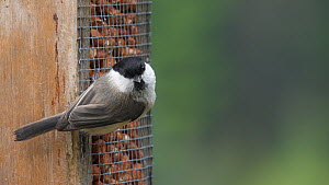 Marsh tit (Poecile palustris) feeding from a bird feeder, Carmarthenshire, Wales, UK, June.  -  Dave Bevan