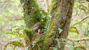 Song thrush (Turdus philomelos) feeding chicks, collects faecal sac and flys out of frame, Carmarthenshire, Wales, UK, May. - Dave Bevan