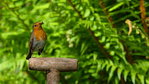 Robin (Erithacus rubecula) perching on a garden fork handle, Carmarthenshire, Wales, UK, May.  -  Dave Bevan