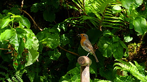 Robin (Erithacus rubecula) perches on fork handle with insects in its beak, on way to nest to feed chicks, Carmarthenshire, Wales, UK, May. - Dave Bevan