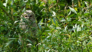 Juvenile Tawny owl (Strix aluco) perched on a branch in wind, Norfolk, England, UK, May.  -  Dave Bevan