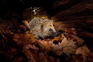 Common hedgehog (Erinaceus europaeus) checking a hollow trunk as a possible shelter to hibernate, France. Controlled conditions. - Klein & Hubert