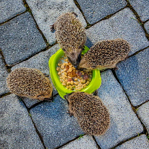 Four orphaned young Common hedgehogs (Erinaceus europaeus) eating cat food in a bowl on patio, France. - Klein & Hubert
