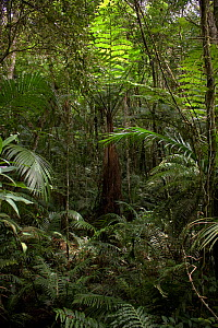 Cyathea fern surrounded by various palm species, Carlos Botelho State Park, Sao Paulo, Atlantic Forest South-East Reserves, UNESCO World Heritage Site, Brazil.  -  Joao Burini