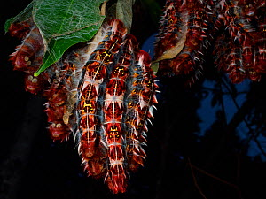 Group of Morpho caterpillars (Morpho sp) Guainumbi Private Reserve, Sao Paulo,  Atlantic Forest South-East Reserves, UNESCO World Heritage Site, Brazil.  -  Joao Burini