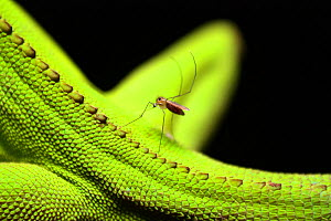 Mosquito biting a Enyalius lizard, Parque do Zizo Private Reserve, Sao Paulo, Atlantic Forest South-East Reserves UNESCO World Heritage Site, Brazil. - Joao Burini