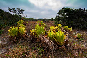 Bromeliads (Quesnelia sp) in the open, Ilha do Cardoso State Park,  Sao Paulo, Atlantic Forest South-East Reserves UNESCO World Heritage Site, Brazil. August 2014 - Joao Burini