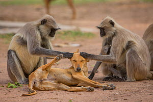 Hanuman langurs (Semnopithecus entellus) grooming dog Mandore Garden, Jodhpur, India. - Mark MacEwen