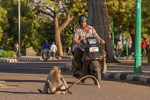 Hanuman Langurs(Semnopithecus entellus) on road with motorcyclist, Mandore Garden, Jodhpur, India. - Mark MacEwen