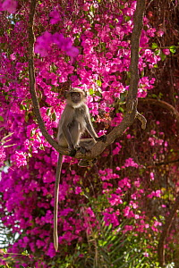 Hanuman Langurs (Semnopithecus entellus) in flowering Bougainvillea  Mandore Garden, Jodhpur, India. - Mark MacEwen