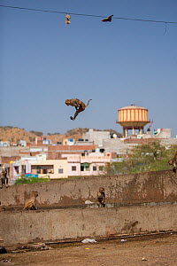 Rhesus macaque (Macaca mulatta) leaping into water trough, Galta Gate, Jaipur, Rajasthan, India. - Mark MacEwen