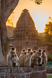 Hanuman Langurs (Semnopithecus entellus) group sitting in front of cenotaph, sunrise, Mandore Garden, Jodhpur, India. March 2015. - Mark MacEwen