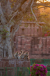 Hanuman Langurs (Semnopithecus entellus) in front of cenotaph in Mandore Garden, sunrise,  Jodhpur, India. March 2015. - Mark MacEwen