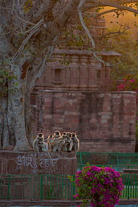 Hanuman Langurs (Semnopithecus entellus) at sunrise in front of cenotaph, Mandore Garden, Jodhpur, India. March 2015. - Mark MacEwen