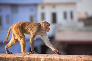 Rhesus macaque monkey (Macaca mulatta) near Galta Gate, Jaipur, Rajasthan, India - Mark MacEwen
