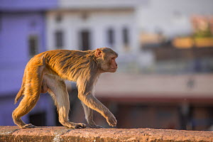 Rhesus macaque monkey (Macaca mulatta) walking along wall near Galta Gate, Jaipur, Rajasthan, India - Mark MacEwen