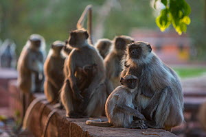 Hanuman Langurs (Semnopithecus entellus) mothers and baby,   Mandore Garden, Jodhpur, India. - Mark MacEwen