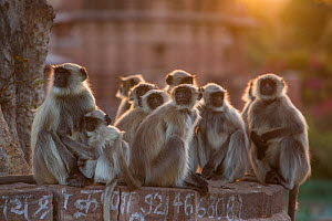 Hanuman Langurs (Semnopithecus entellus) group Mandore Garden, Jodhpur, India. March 2015. - Mark MacEwen