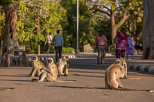 Hanuman Langurs (Semnopithecus entellus) group in path, Mandore Garden, Jodhpur, India. - Mark MacEwen