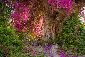 Hanuman langurs (Semnopithecus entellus) in flowering Bougainvillea  tree. Mandore Garden, Jodhpur, India. - Mark MacEwen