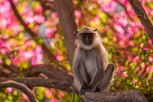 Hanuman Langurs (Semnopithecus entellus) perched in Bougainvillea  Mandore Garden, Jodhpur, India. - Mark MacEwen