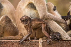 Hanuman Langurs (Semnopithecus entellus) infant near adult Mandore Garden, Jodhpur, India. - Mark MacEwen