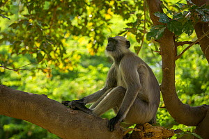 Hanuman Langurs (Semnopithecus entellus) sitting on branch, Mandore Garden, Jodhpur, India. - Mark MacEwen