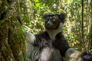 Indri lemur (Indri indri)  Andasibe-Mantadia National Park, in Alaotra-Mangoro Region in eastern Madagascar. Critically endangered species. - Mark MacEwen