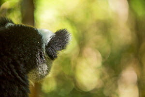 Indri lemur (Indri indri) rear view of ear, Andasibe-Mantadia National Park, in Alaotra-Mangoro Region, eastern Madagascar. - Mark MacEwen