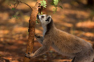 Ring-tailed lemur male (Lemur catta) scent marking tree, Berenty Reserve, Madagascar. - Mark MacEwen
