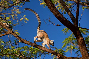 Ring-tailed lemur  (Lemur catta) running along branch, Berenty Reserve, Madagascar. - Mark MacEwen