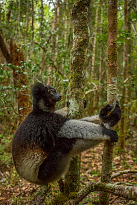 Indri lemur (Indri indri) Andasibe-Mantadia National Park, ilaotra-Mangoro Region, eastern Madagascar. Critically endangered species. - Mark MacEwen