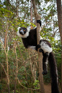 Black-and-white ruffed lemur (Varecia variegata) Andasibe-Mantadia National Park, Alaotra-Mangoro Region, eastern Madagascar. Endangered,  -  Mark MacEwen