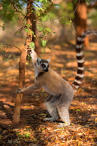Ring-tailed lemur male (Lemur catta) male scent marking, Berenty Reserve, Madagascar. - Mark MacEwen