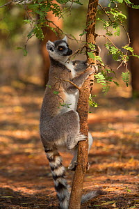 Ring-tailed lemur (Lemur catta) male scent marking tree, Berenty Reserve, Madagascar. - Mark MacEwen