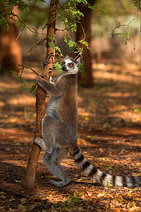 Ring-tailed lemur (Lemur catta) scent marking tree, Berenty Reserve, Madagascar. - Mark MacEwen