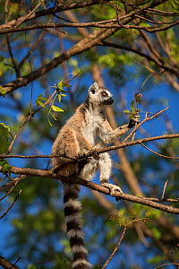 Ring-tailed lemur (Lemur catta) in tree,  Berenty Reserve, Madagascar. - Mark MacEwen